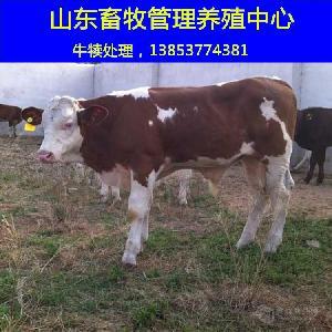 肉牛小牛犊市场价格育肥肉牛牛犊价格