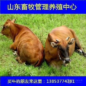 鲁西黄牛小牛犊价格