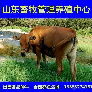 黄牛苗肉牛犊价格