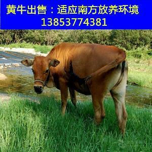 大鲁西黄牛养殖场