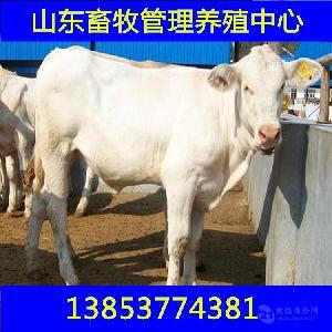 小黄牛犊的价格