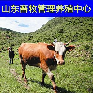 市场黄牛犊的价格
