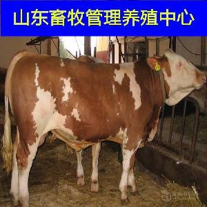 黄牛苗肉牛犊养殖场