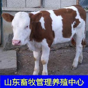 育肥牛犊价格