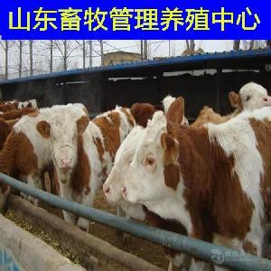 西门塔尔肉牛能长多重