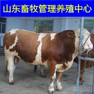 2018年母牛犊价格
