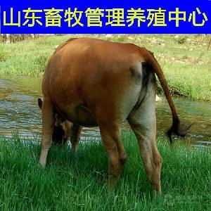 哪里有小黄牛犊