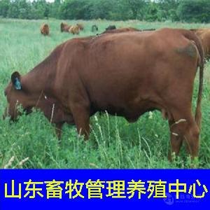 夏洛莱育肥牛犊价格