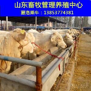 肉牛小牛犊市场价格