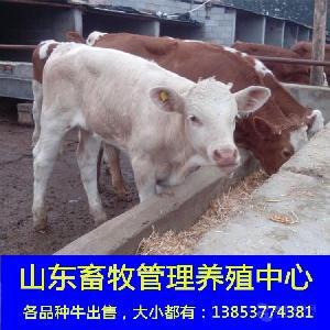 母鲁西黄牛牛犊价格