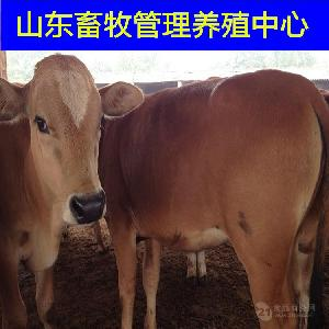 白牛夏洛莱种母牛