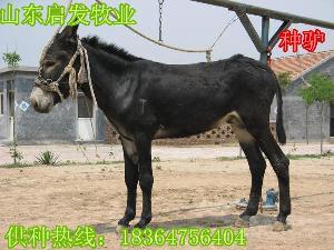 科学养驴肉驴价格多少