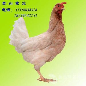 海兰灰青年鸡养殖与销售