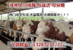 鲁西黄牛和西门塔尔牛养哪个好↑
