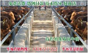 改良牛犊价格·