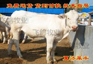鲁西黄牛6个月能长多大?
