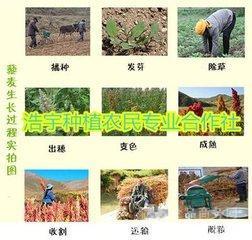 宁夏香草生物藜麦种子白黄红黑四种 现货