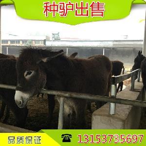 现在哪里有肉驴崽卖