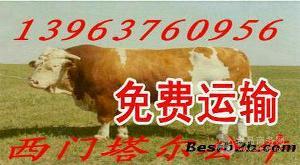 西门塔尔肉牛小牛犊.