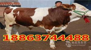 改良肉牛牛犊.