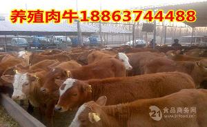 西门塔尔肉牛图片.