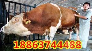优良肉牛品种