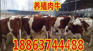 西门塔尔小母牛犊价格.