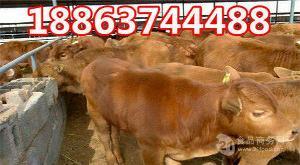 鲁西黄肉牛价格多少
