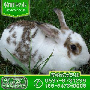 今日獭兔种兔多少钱一只