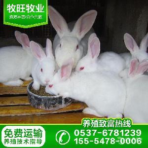 现在肉兔价格