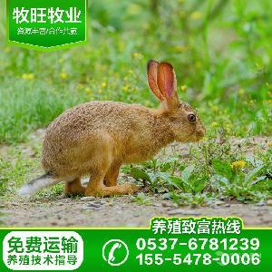 河北种兔养殖场