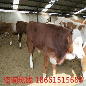 湖南一头小牛犊要多少钱