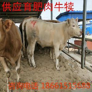 西门塔尔肉牛多少钱一头