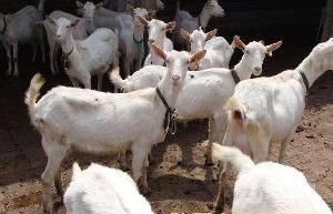 奶山羊多少钱一只奶山羊品种介绍