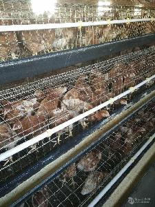 海兰褐蛋鸡青年鸡