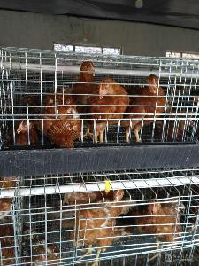 运城60天蛋鸡青年鸡多少钱