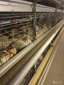 海兰灰青年鸡价格