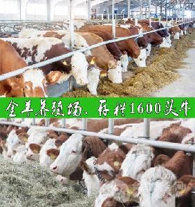 今年养400斤利木赞牛行吗