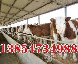西门塔尔肉牛养殖基地