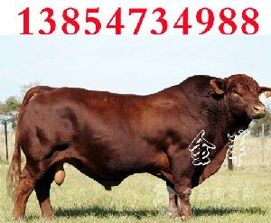 纯种黄牛牛犊会有水土不服吗