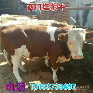 广西小牛崽的价格