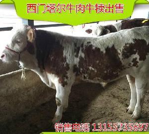 改良西门达尔种牛牛苗价格