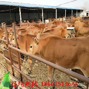 刚断奶的小牛价格