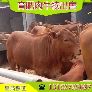 半年黄牛犊价格