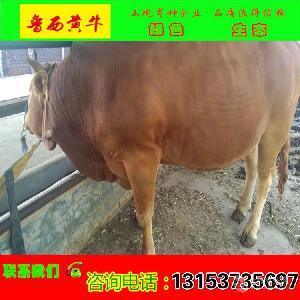 养殖哪个肉牛品种可以放养