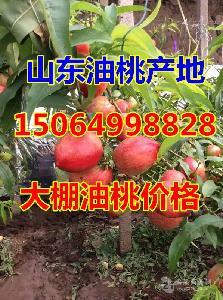山东油桃基地*山东油桃价格*山东油桃市场