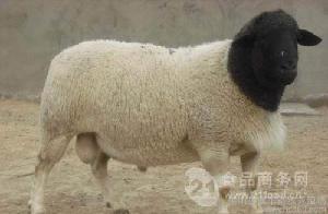 改良的杜泊绵羊价格