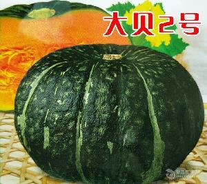 日本大贝贝南瓜种子高产大南瓜种子—大贝2号