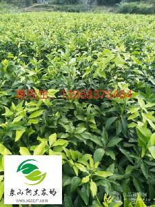 浙江地区红美人桔苗种植