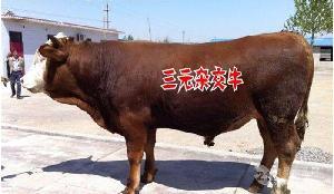肉牛品种$西门塔尔肉牛犊价格